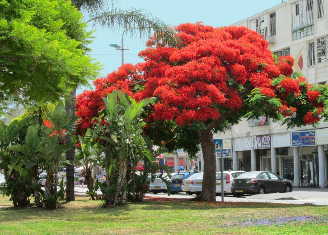 дель дерево с большими красными цветами фото привод переднего